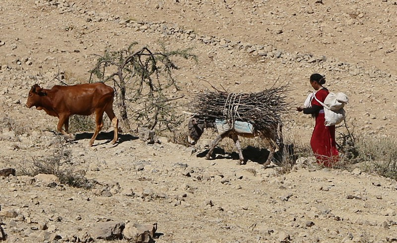 A woman in a desert in Eritrea, carrying fire wood with her donkey.
