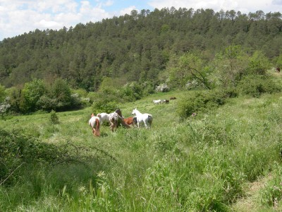 A small herd of horses on a meadow in the woods.